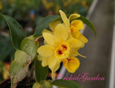 Orchid Dendrobium sulcatum, nice small sized species (24 L)