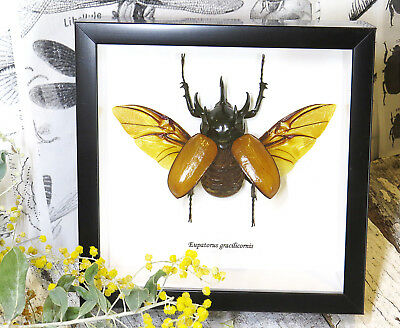 RHINO Bug beetle entomology science Taxidermy Framed real Rhino beetle BBEG