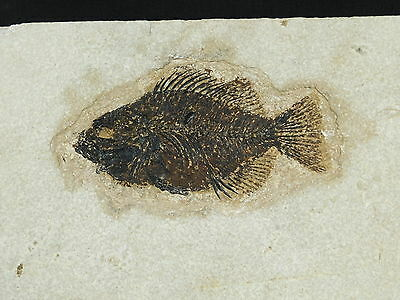 Super Erect FINS! on This 50 Millon Year Old Priscacara Fish Fossil Wy 1242gr e