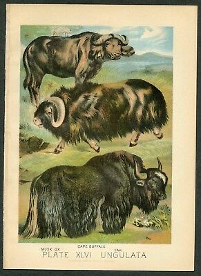 CAPE BUFFALO, YAK, MUSK OX, Vintage 1897 Chromolithograph Print, Antique, 046