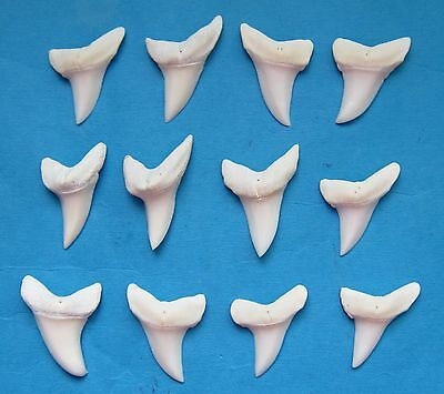 """12 pcs.- 1 3/8"""" Wide type White  MAKO SHARK Teeth for shark necklace Ms-65"""