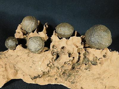 FIVE! Moqui Marbles on a Big 100% Natural Eroded Navajo Sandstone Utah 1499gr e