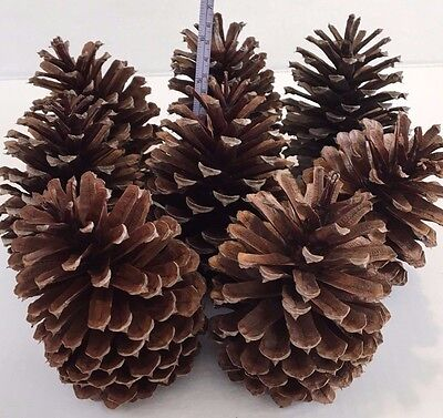 """8 PINE CONES Natural Large 5"""" - 5 3/4 """" High ~ 3 1/2 """"- 3 3/4"""" wide ~ Crafts"""