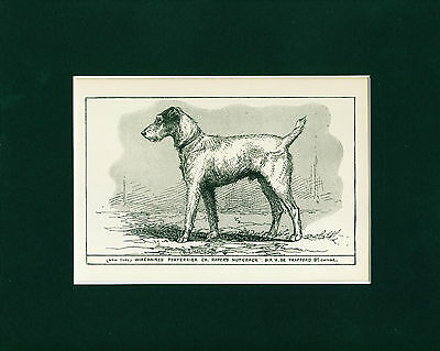 Dog Art Print 1900 Wire Fox Terrier ANTIQUE