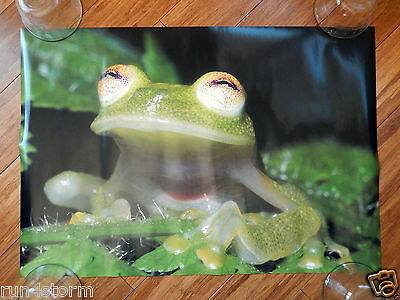 "Rainforest Frog 23 ½"" x 16"" Poster"
