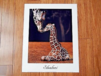 Giraffe Mother to Baby SHAHNI at Perth Zoo Rothschild RON D'RAINE 16x20 Poster