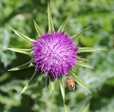 St Mary's Thistle,30 Fresh seed ,[milk thistle]