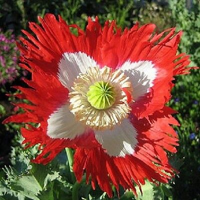 Papaver Danish Flag Poppy 10 grams appx 40,000 seeds - Annuals & Biennials