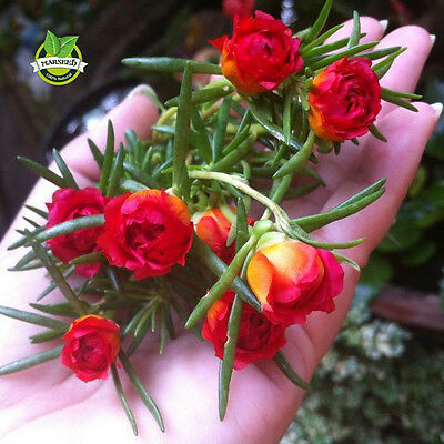 500 Mixed Color Moss rose Purslane Double Flower Seeds