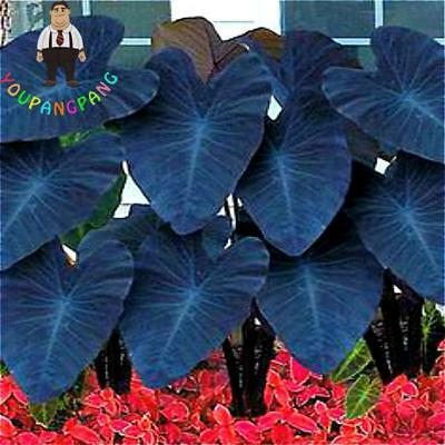 100 pcs Blue Alocasia Macrorrhiza Seeds Giant Elephant Ear Taro Seeds HOT