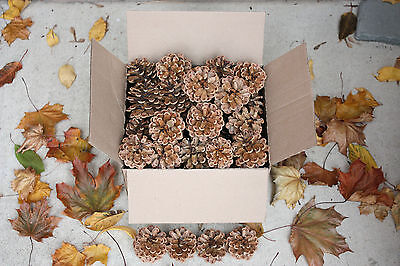 """AUSTRIAN PINE Natural Open Upright Pine Cones 2"""" - 3.5"""" Lot of 30 BEAUTIFUL!"""