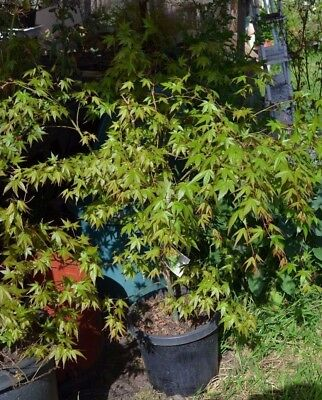 "Garden Plant~ Japanese Maple "" Acer palmatum ""  Mature up to 2m  P/ Up Yan Yean"
