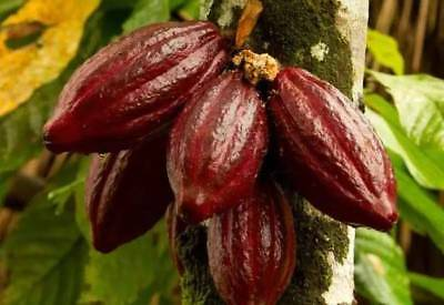 Chocolate Tree COCOA 10 Seeds. Easy to grow High germination 85% Free Shipping