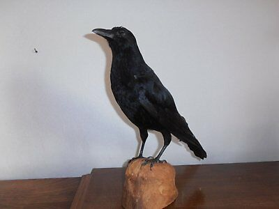 taxidermie corbeau