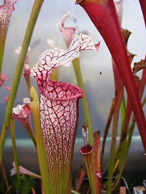 Carnivorous Plant - Sarracenia hybrid (IS DW x 1MP Clone 5) first time offer.