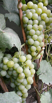 fresh cuttings of grapes 3 pieces