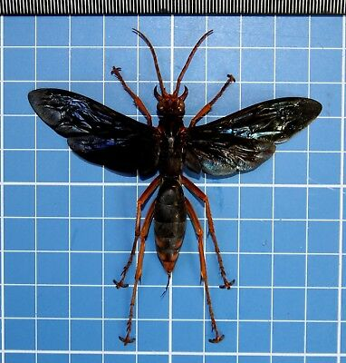 African Giant Tarantula Hawk Killer Wasp XL Female 86mm Spread A1 20682