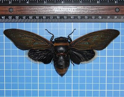 Black Giant Cicada Kalimantan Monster Size Female 171mm Rare Spread 20742