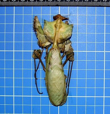 Idolomantis Diabolica Female Devils Mantis East Africa Taxidermy Mantidae 20554