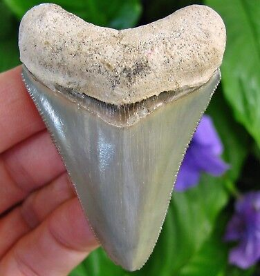 Sharp Golden Beach Megalodon Shark Tooth Venice Florida fossil teeth