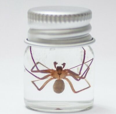Real Venomous Brown Recluse Fiddle Spider Specimen Halloween