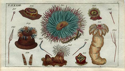 1801 MARINE SEA URCHIN Antique Hand/Colored Copper Engraving Print Wilhelm