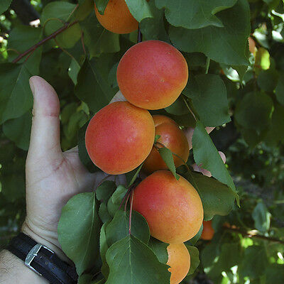 Apricot Tomcot Tree Montclair Rootstock 1m Tall in a 4.5L Pot