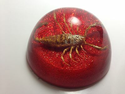 Vintage Large REAL SCORPION w/Pinchers Lucite Dome Paperweight