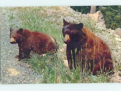 Pre-1980 AMERICAN BLACK BEAR AT YELLOWSTONE National Park Wyoming WY hn5947