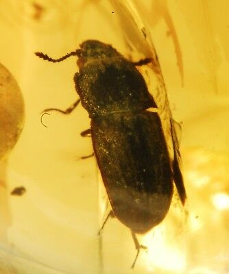 Nice Beetle and a Neuroptera in Burmite cretaceous Amber fossil dinosaurs era