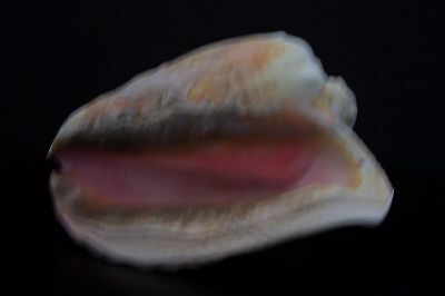 """9"""" SEASHELL Sea Shell Pink Queen Conch Large Heavy  Natural Florida"""