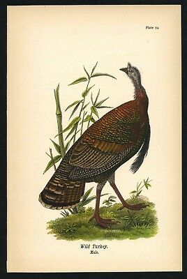 WILD TURKEY, Vintage 1890 Chromolithograph, Color Bird Print Antique, 074