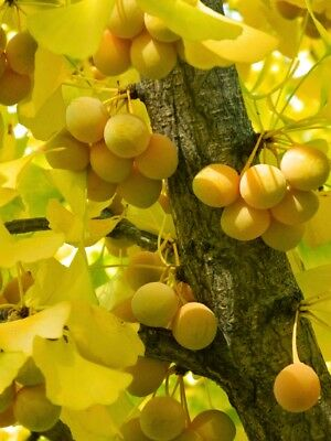 GROWTH TESTED GINKGO BILOBA Maidenhair Tree 60 Cold-Stratified SEEDS with pulp