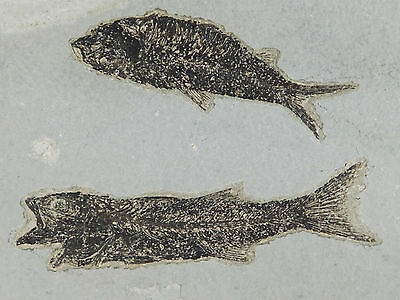 TWO Species! A Mioplosus Fossil Fish and a Knightia!! From Wyoming 2658gr e