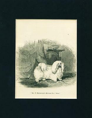 ANTIQUE Dog Print 1878 Maltese Dog