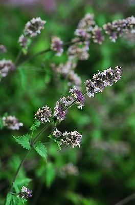 Herb - Catmint - Catnip - Nepeta Cataria - 7500 seeds - Large