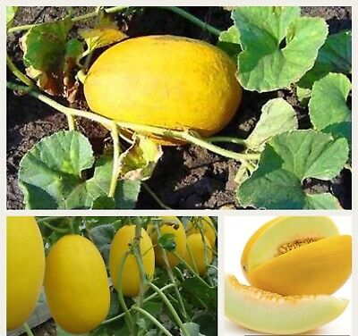 30x Honeydew Seeds Yellow Golden Rockmelon Melon Fruit Vegetable Gardening