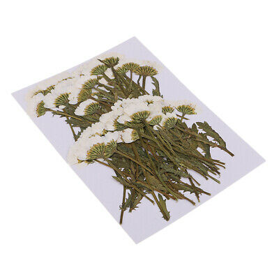 50pcs Pressed Flower Off-White Chrysanthemums Real Dried Flowers with Stems