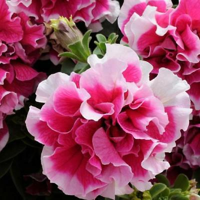Petunia Double Pirouette - Rose White - 30 pelleted seeds