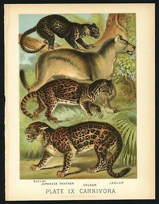 PANTHER, COUGAR, JAGUAR, Vintage 1897 Chromolithograph Print, Antique, 009