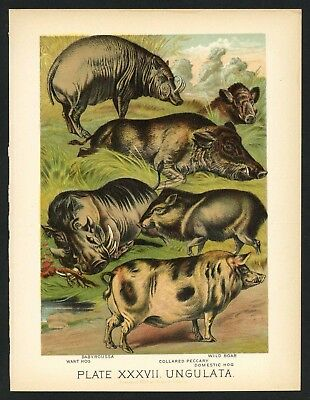 WILD BOAR, WART HOG, PECCARY, Vintage 1897 Chromolithograph Print, Antique, 037