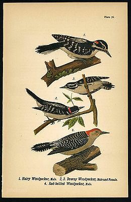 HAIRY WOODPECKER, Vintage 1890 Chromolithograph, Color Bird Print Antique, 076
