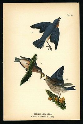 COMMON BLUE BIRD, Vintage 1890 Chromolithograph, Color Bird Print, Antique, 050
