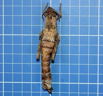 Stone Mimicry Giant Katydid Orthoptera East Africa A1 Museum Quality 20595