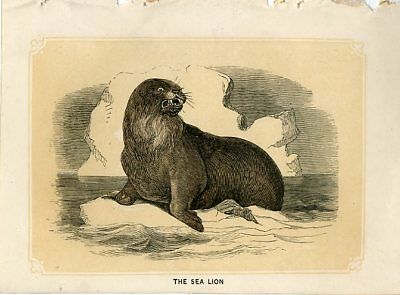1853 The SEA LION Antique Engraving Print W. I. Bicknell