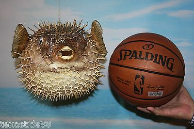 "(1) Sushi Restaurant Decor, Porcupine Fish, Blow Fish, Preserved, 17"", Taxidermy"