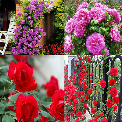 100PCS Charm Climbing Rose Seeds Rosa Multiflora Perennial Fragrant Flower TR