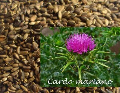 40 grams of Marian Thistle Seeds (Silybum marianum) seeds