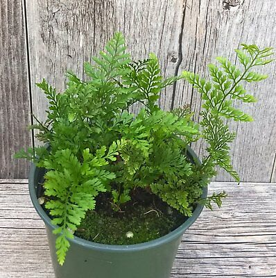 White Foot Rabbit Fern