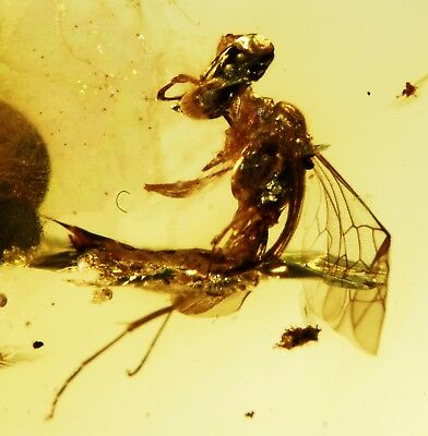 Two little Wasps in Burmite Cretaceous Amber fossil dinosaurs era